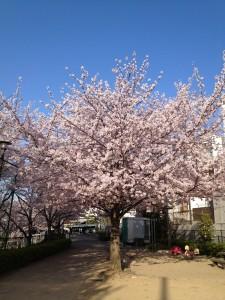 お花見姫路城の桜と天守閣