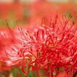 彼岸花の花言葉は・・・。でも贈らない花です。