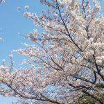 芦屋川の桜🌸とJR芦屋近辺の再開発!