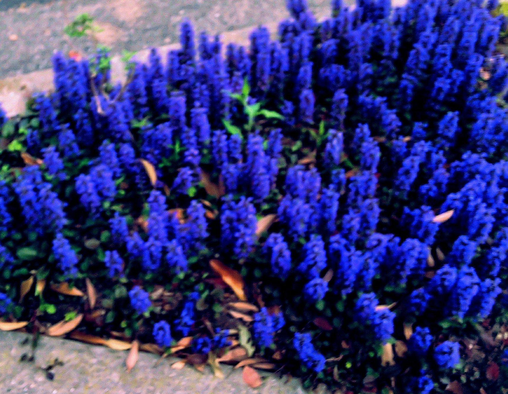 春の花 ムスカリ‼️ せめて花を愛でましょう!
